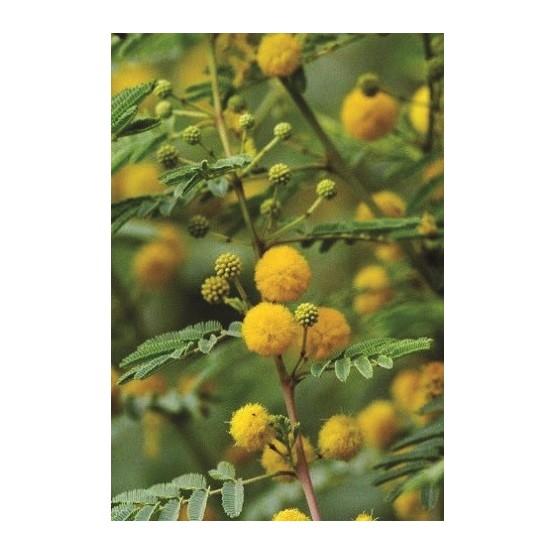 Acacia arabica ARBOL