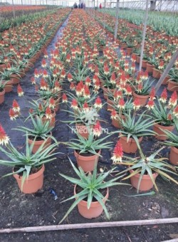 Aloe hibrido-Collection Safari SUCULENTA