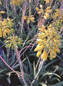 Aloe hibrido - Collection Safari