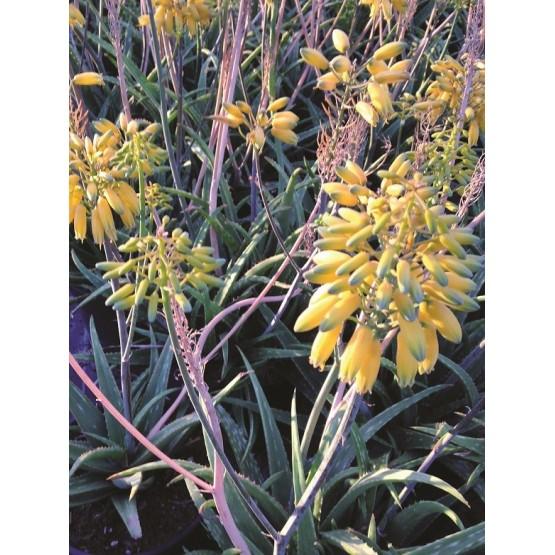 Aloe hibrido-Collection Safari SUCULENTA