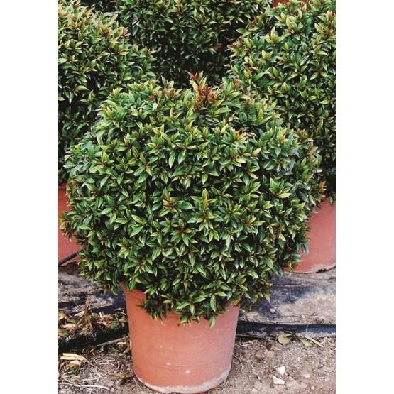 "Eugenia myrtifolia ""Compacta"" ARBUSTO"