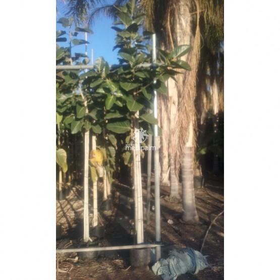 Ficus benghalensis 17L 8-10P ARBOL