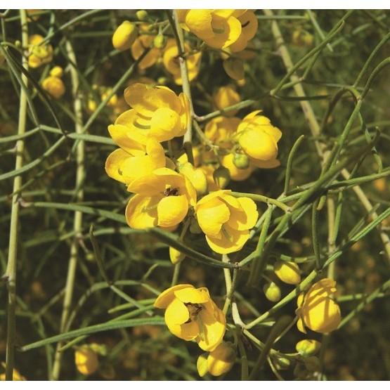 Cassia nemophylla ARBUSTO