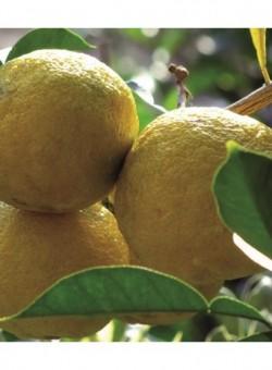 Citrus yuzu - Fruto
