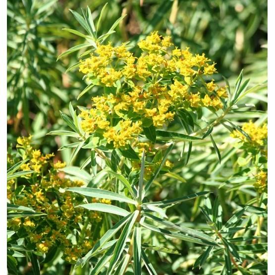 Euphorbia ceratocarpa SUCULENTA