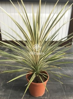 "Cordyline australis ""Southern Splender"""