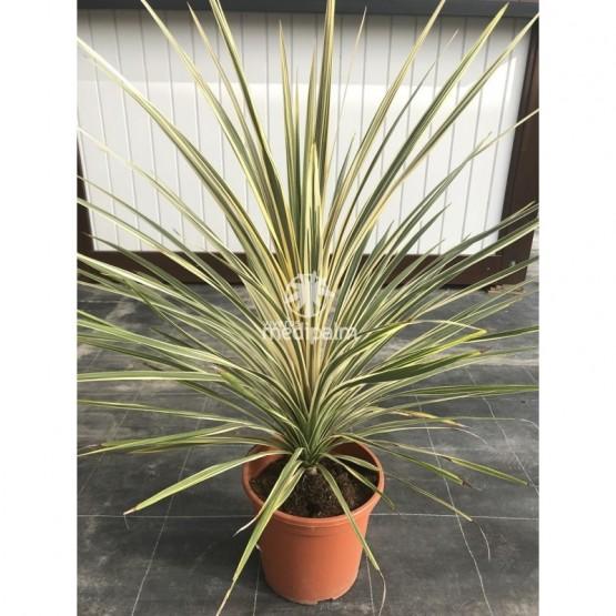 "Cordyline australis ""Southern Splender"" SUCULENTA"