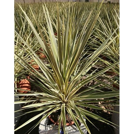 "Cordyline australis ""Torbay Dazzler"" SUCULENTA"