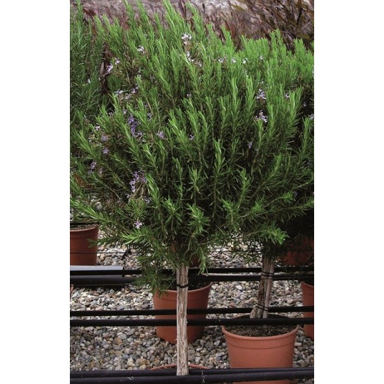 """Rosmarinus officinalis """"Gorizia"""" COPAT/3"""