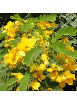Cassia surattensis ARBOL