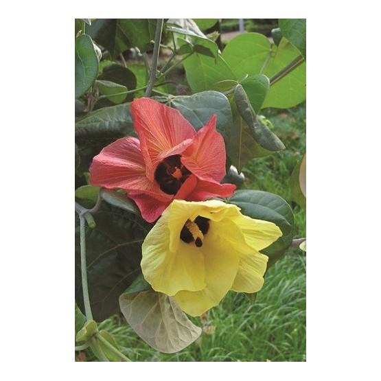 Hibiscus tiliaceus ARBOL