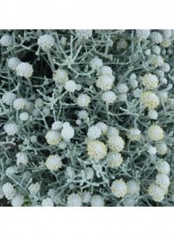 Leucophyta brownii ARBUSTO