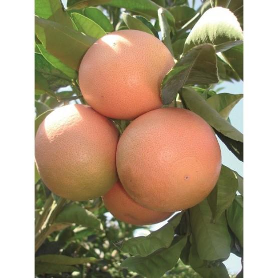 Citrus paradisi - Fruto