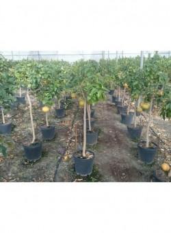 Citrus paradisi COPARAM C30 15L