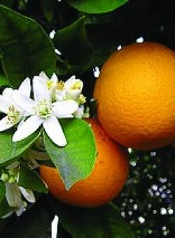 Citrus sinensis - Flor