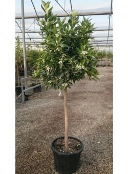 Citrus sinensis COPARAM 25L
