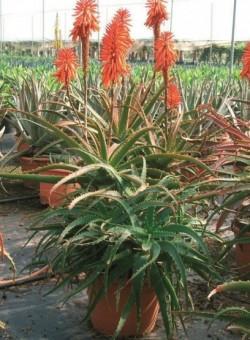 Aloe arborescens SUCULENTA