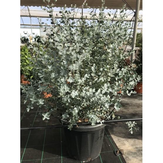Eucalyptus gunnii ARBUSTO
