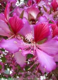 """Bauhinia purpurea """"Variegata"""" ARBOL"""