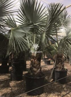 Bismarckia nobilis PALMERA