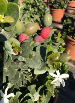Carissa macrocarpa/grandiflora - Flor